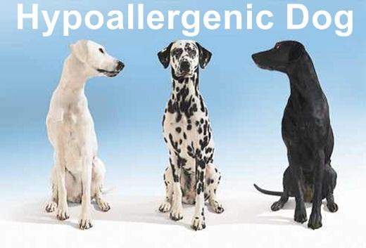 Hypoallergenic Dog Breeds Myth